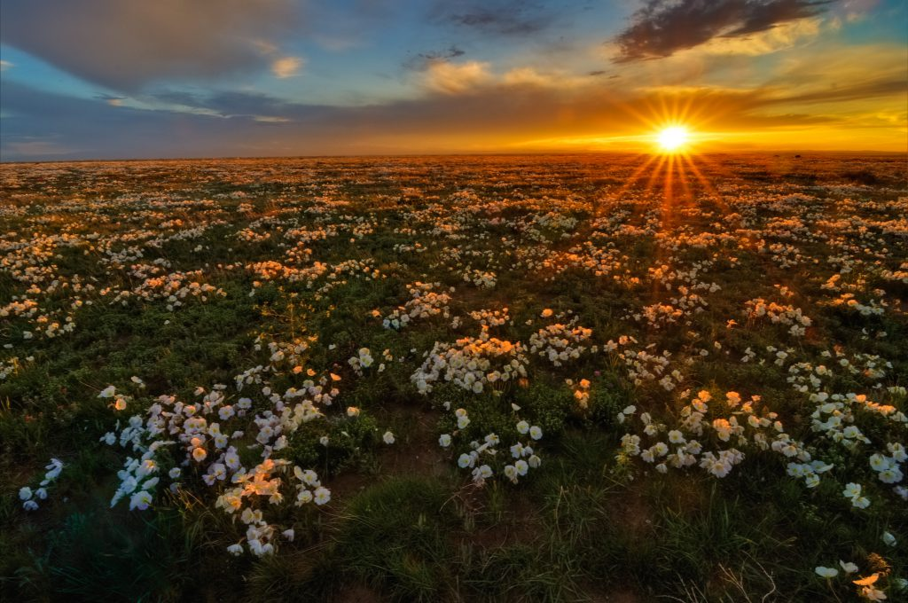 One of the protected areas outside of Larimer County, Pawnee Grasslands provides biodiversity protection of species such as the Pawnee Prairie Primrose. Source: Michael Menefee (CNHP)