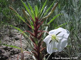 Oenothera harringtonii