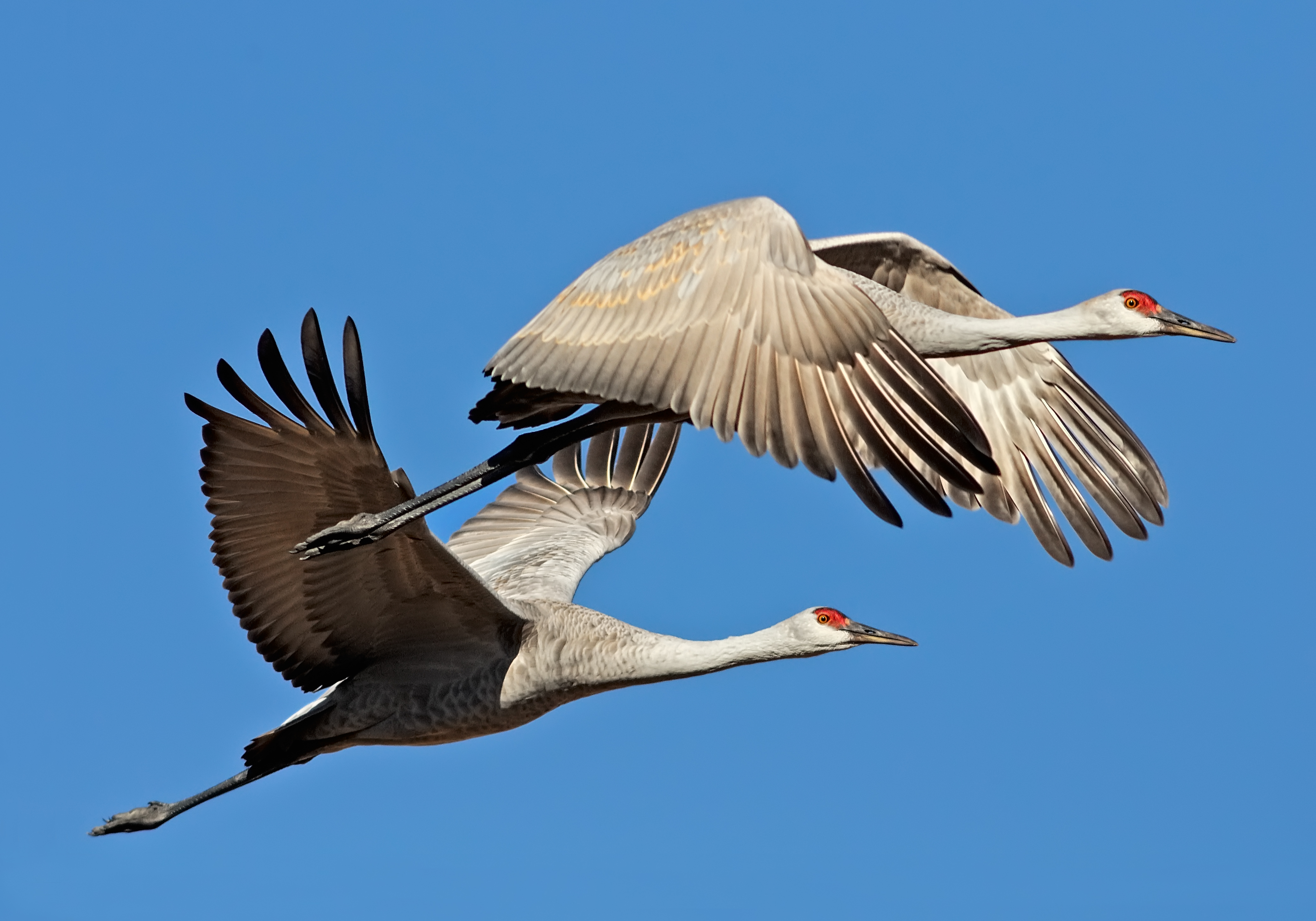 Sandhill cranes in flights. Michael Menefee.