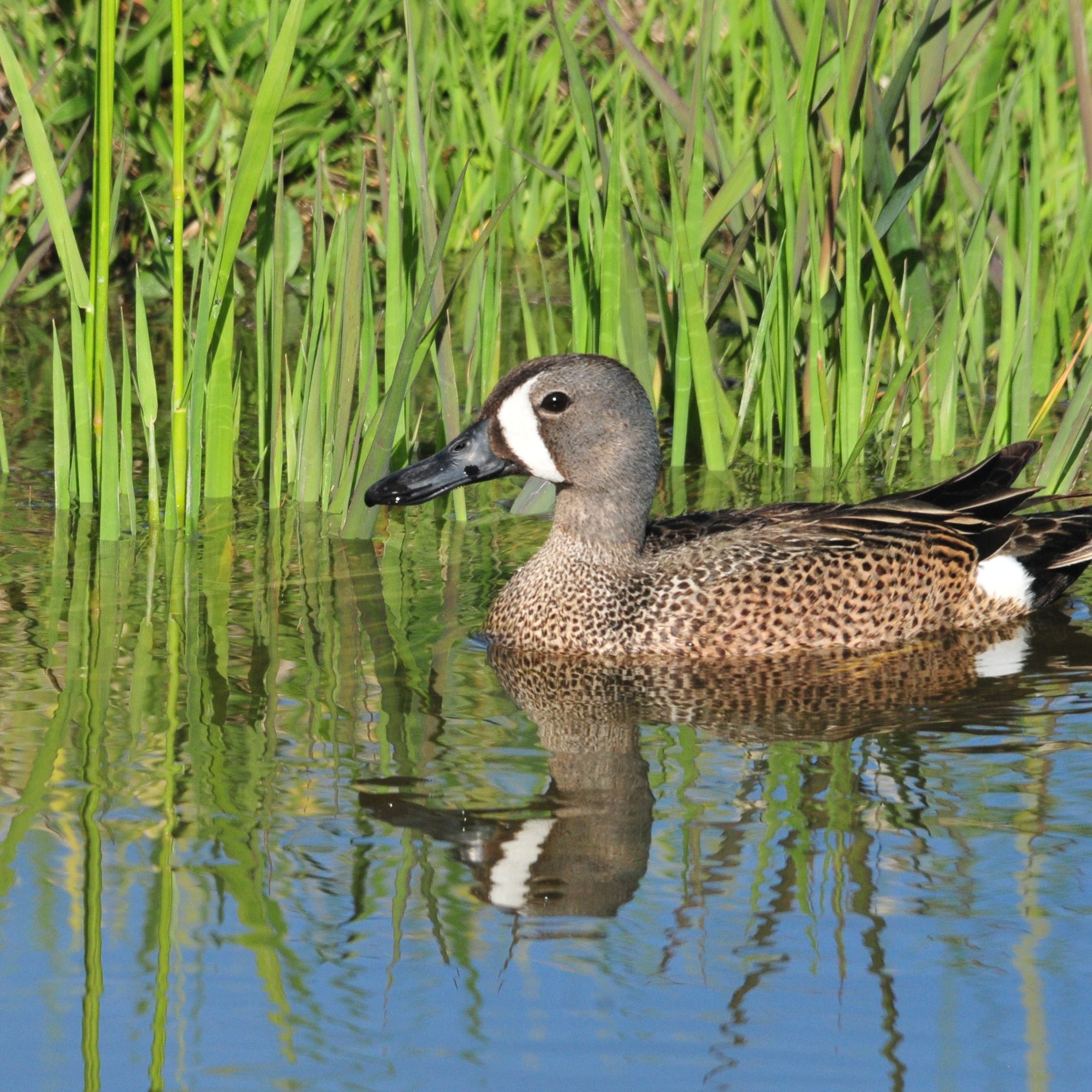 Blue-winged Teal. Tom Koerner, USFWS.