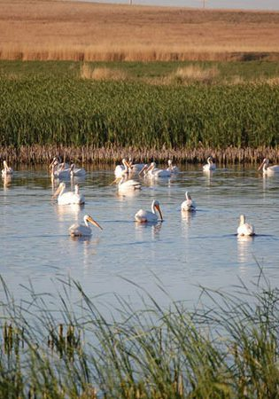 Pelicans using a Colorado farm wetland restored under the Partners for Fish and Wildlife program. USFWS staff.