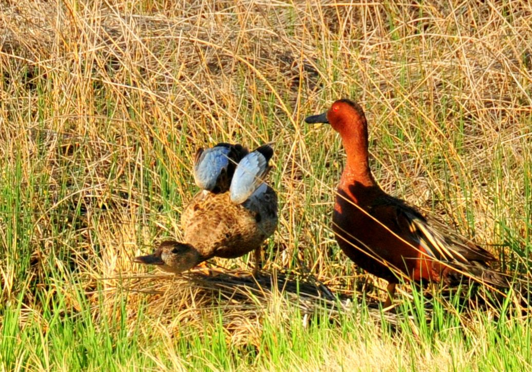 Cinnamon Teal pair. Tom Koerner, USFWS.