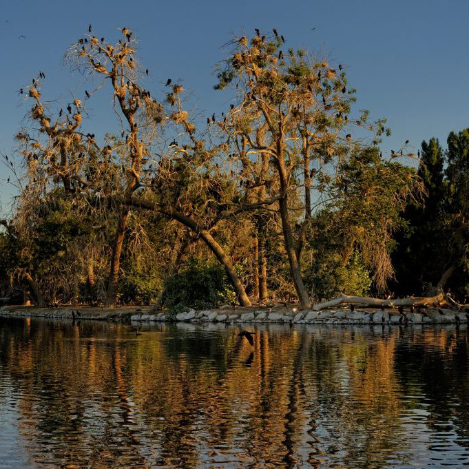 Cormorant rookery in wetlands at City Park, Denver. Michael Menefee, CNHP.