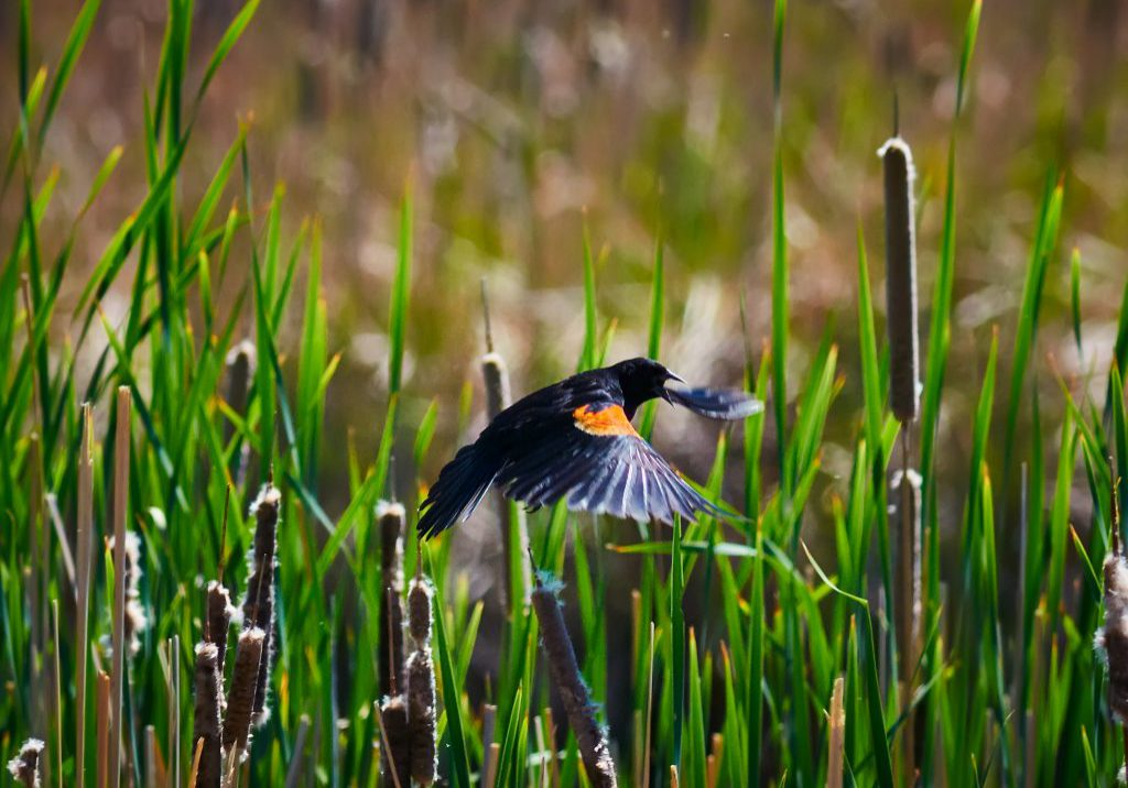 Male Redwing Blackbird displaying brightly-colored epaulet feathers. Michael Menefee, CNHP.
