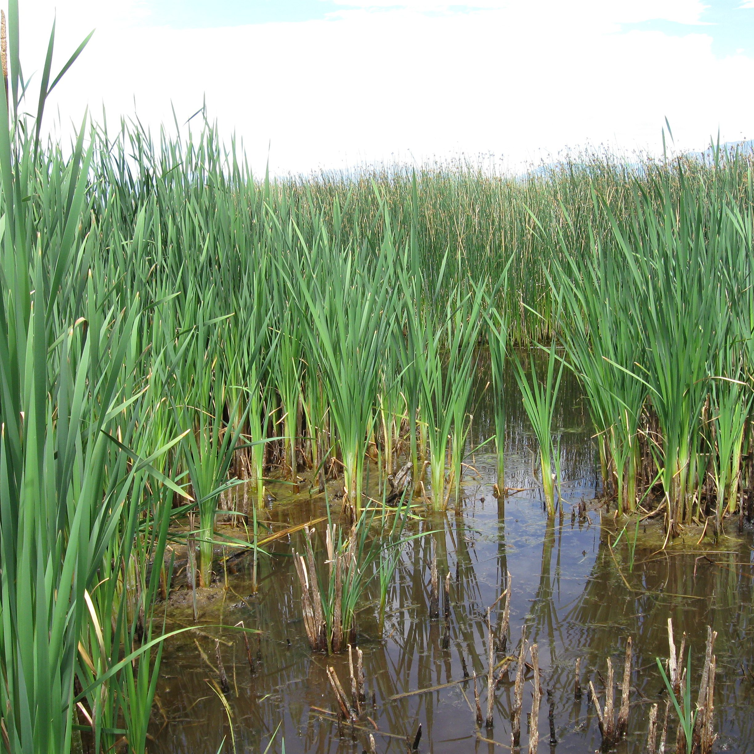 Cattails growing within an emergent marsh. CNHP Staff.