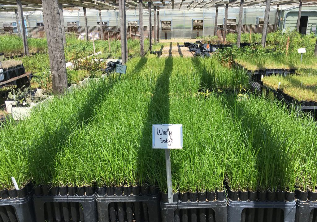 Woolly sedge (Carex pellita) at the Colorado State Forest Service nursery, Fort Collins. Sarah Marshall, CNHP.