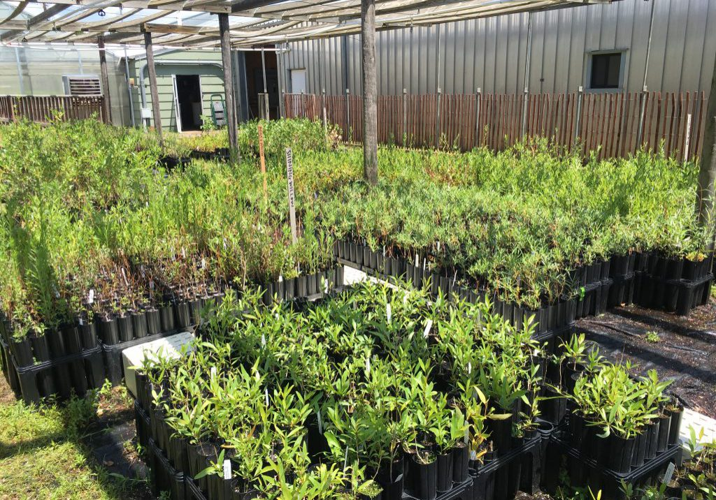 Willow and cottonwood seedlings and rooted cuttings at the Colorado State Forest Service nursery, Fort Collins. Sarah Marshall, CNHP.