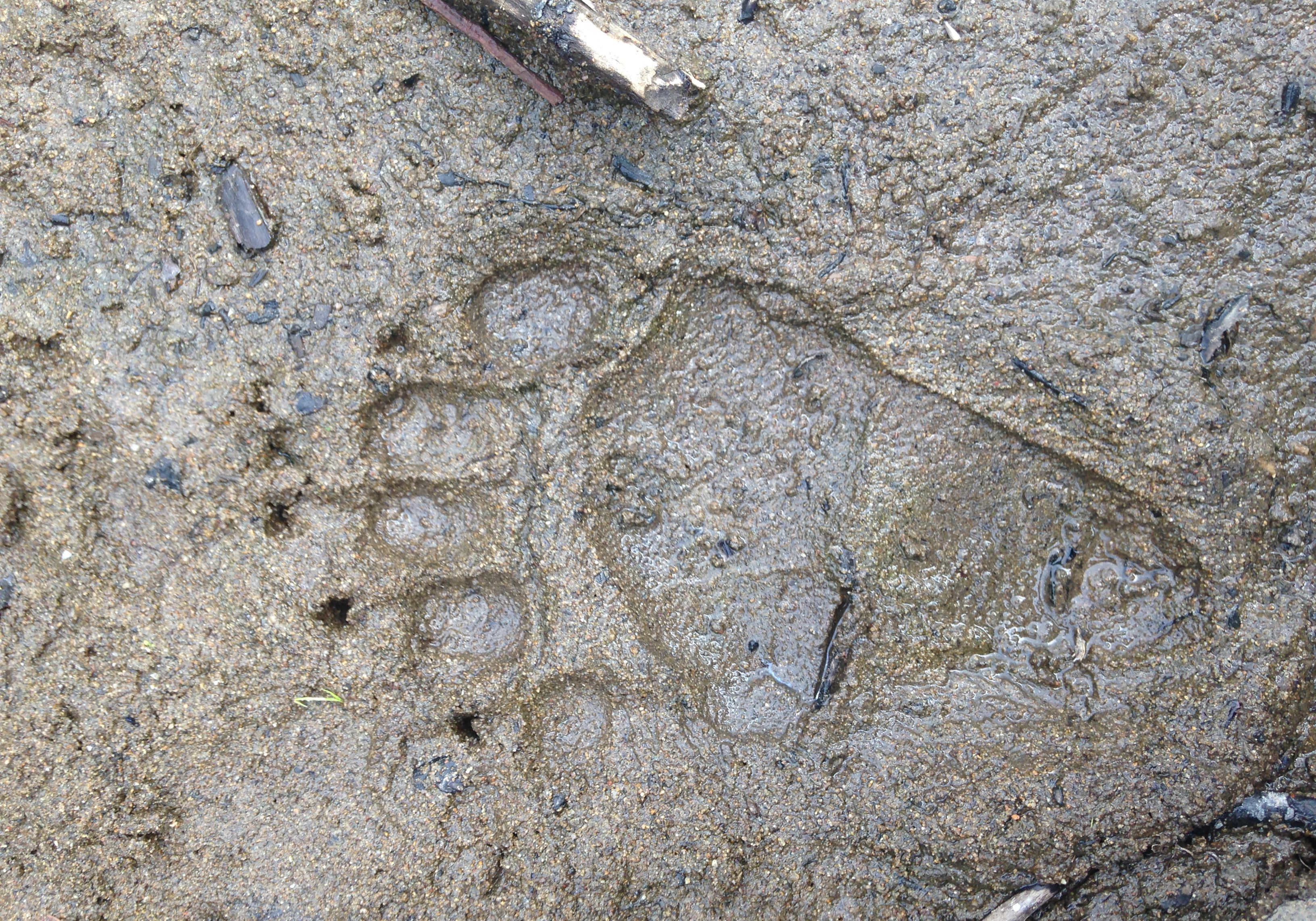 Bear track in sediment along a stream near Kremmling, CO. Sarah Marshall, CNHP.