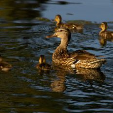 Mallard hen and ducklings. Michael Menefee, CNHP.