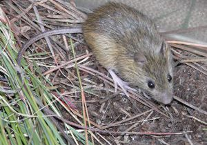 Preble's meadow jumping mouse. Rob Schorr, CNHP.
