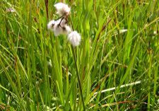 Tufts of tall cottongrass (Eriophorum angustifolium) can be found on in several fen complexes.