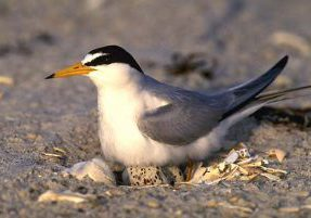Least Tern. USFWS staff.