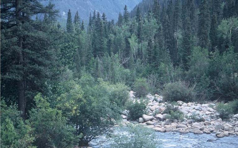 A riparian area dominated by sub-alpine fir in La Plata County, Colorado.