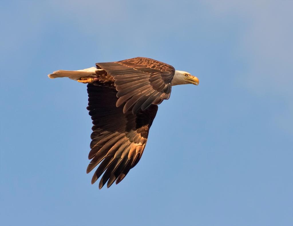 Bald Eagle by Michael Menefee