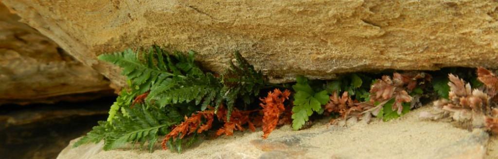 black spleenwort (Asplenium adiantum - nigrum) by Pam Smith
