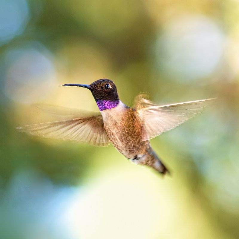 Black-chinned Hummingbird (Archilochus alexandri). Photo by Michael Menefee