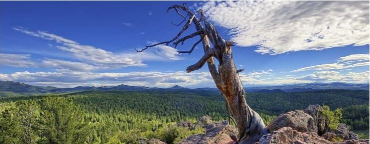 An ancient pine in Mueller State Park, Teller County, Colorado. Photo by Michael Menefee.