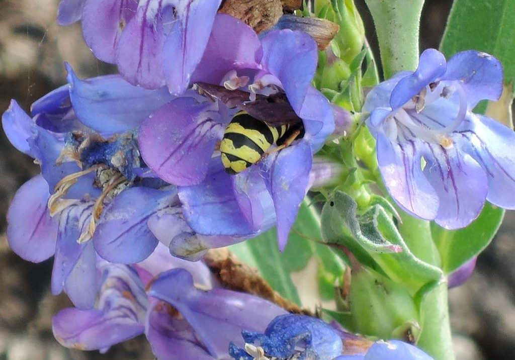 A pollinator visiting a penstemon flower.
