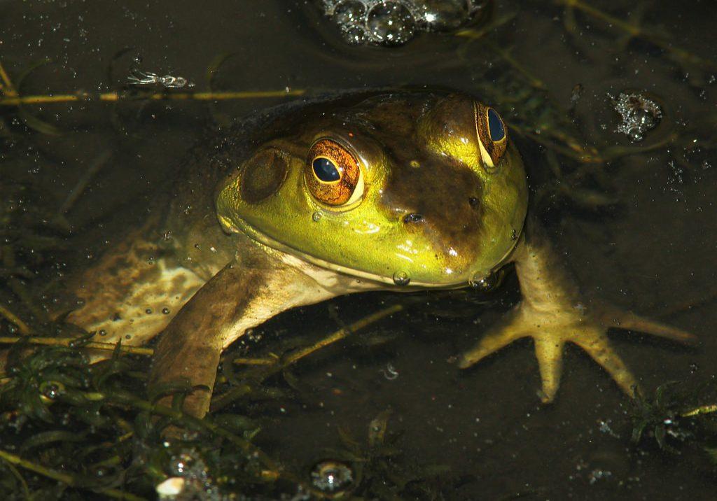 A non-native bullfrog