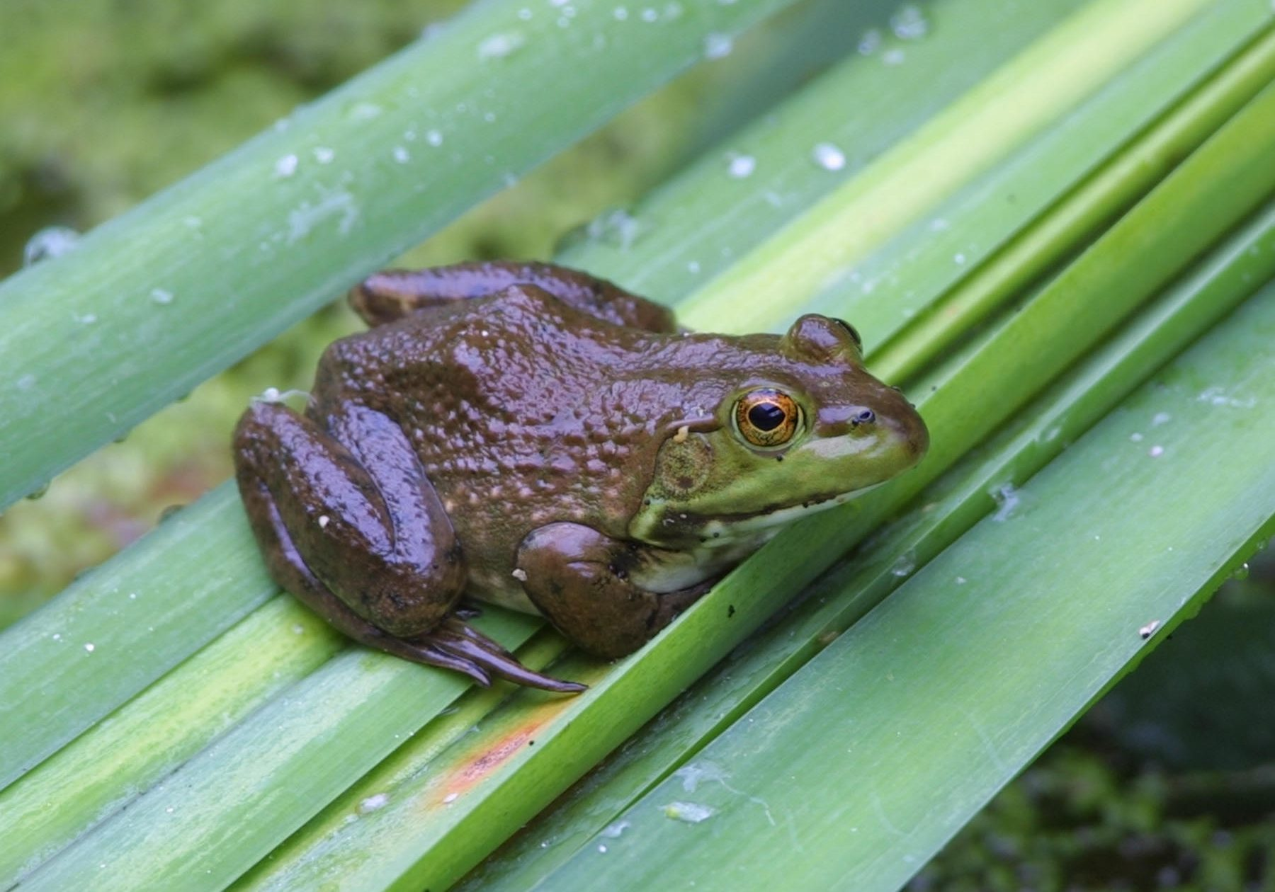 A non-native bullfrog by Bill Buchanan USFWS