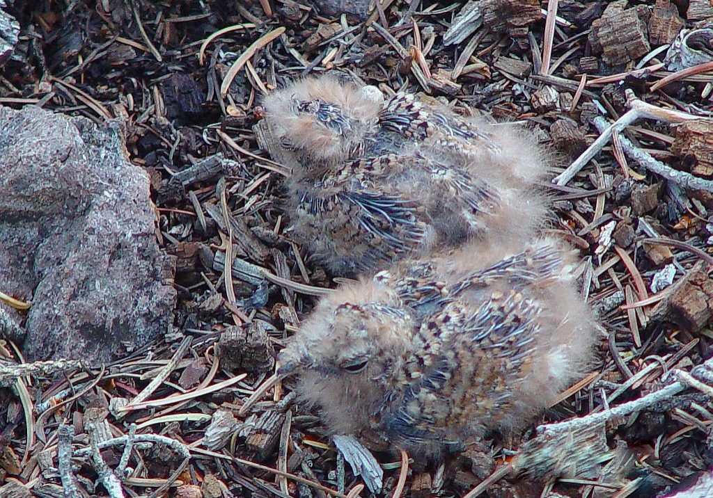 Common Nighthawk chicks by John Sovell
