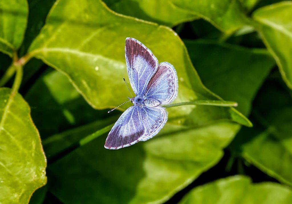 Hops blue butterfly (Celastrina humulus) by Michael Menefee.oto by Michael Menefee