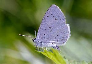 Hops blue butterfly (Celastrina humulus) by Michael Menefee