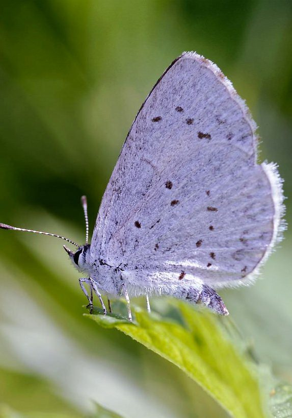 Hops blue butterfly (Celastrina humulus) by Michael Menefee