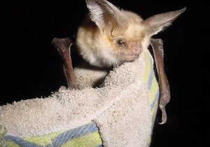 Pallid bat by Jeremy Siemers