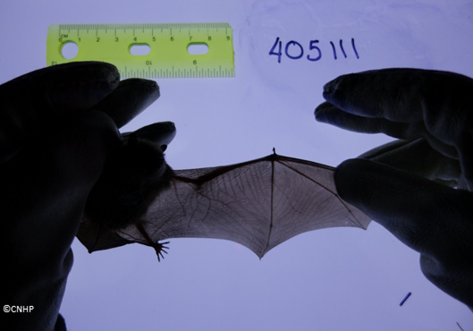 Blaise Newman, CNHP Siegele Intern, photographs a little brown bat's wing venation pattern. This technique is fairly new, and holds promise as a way to identify individual bats.