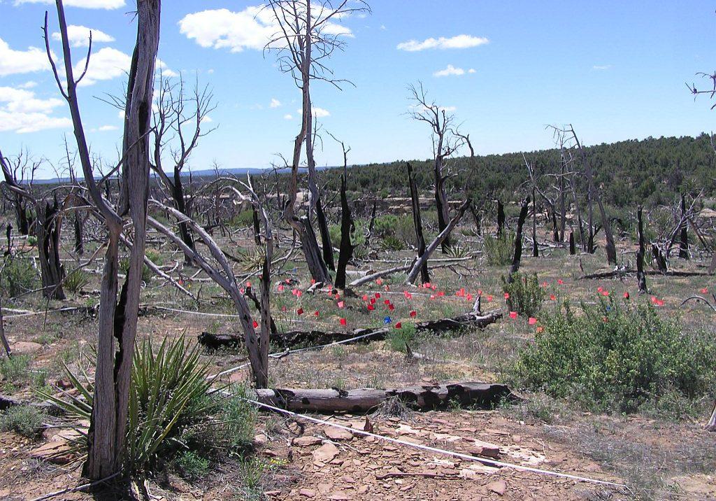 Chapin Mesa milkvetch plots in the Long Mesa Fire burn area.