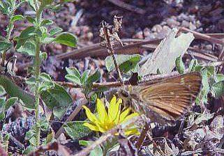 Pawnee montane skipper (Hesperia leonardus montana)