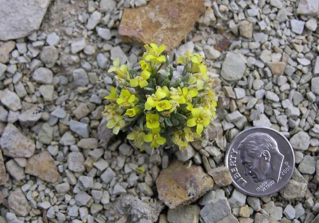 Dudley Bluffs bladderpod (Physaria congesta) by Jill Handwerk