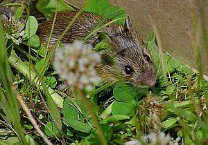 Preble's meadow jumping mouse (Zapus hudsonius preblei)
