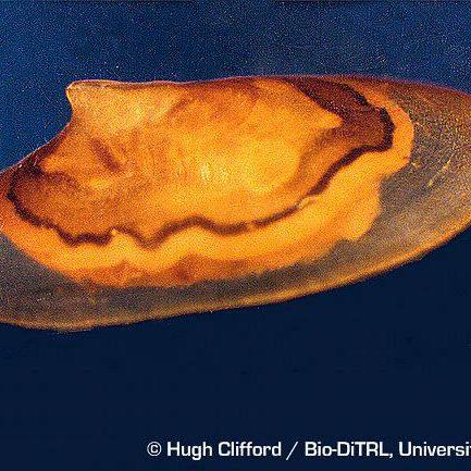Rocky Mountain capshell (Acroloxus coloradensis)