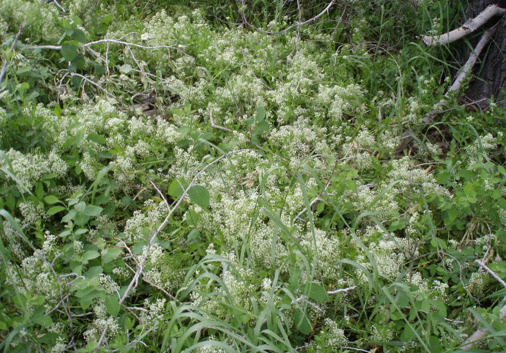 White top (Cardaria draba)