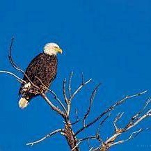 Wintering Bald Eagle Gazing_8225130072_o