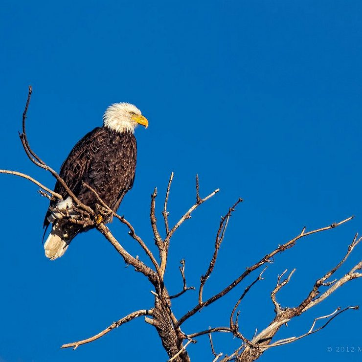Wintering Bald Eagle Gazing_8225130072_o