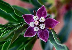 dwarf milkweed (Asclepias uncialis ssp uncialis)