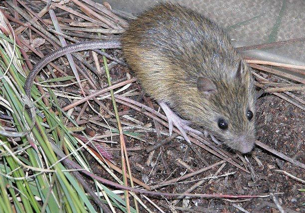 Preble's meadow jumping mouse (Zapus hudsonius preblei)