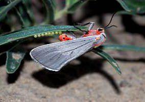 Rare Tiger Moth (Pygarctia neomexicana). Photo by Michael Menefee.