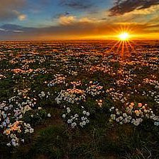 Evening primrose at Pawnee National Grassland. Photo by Michael Menefee.