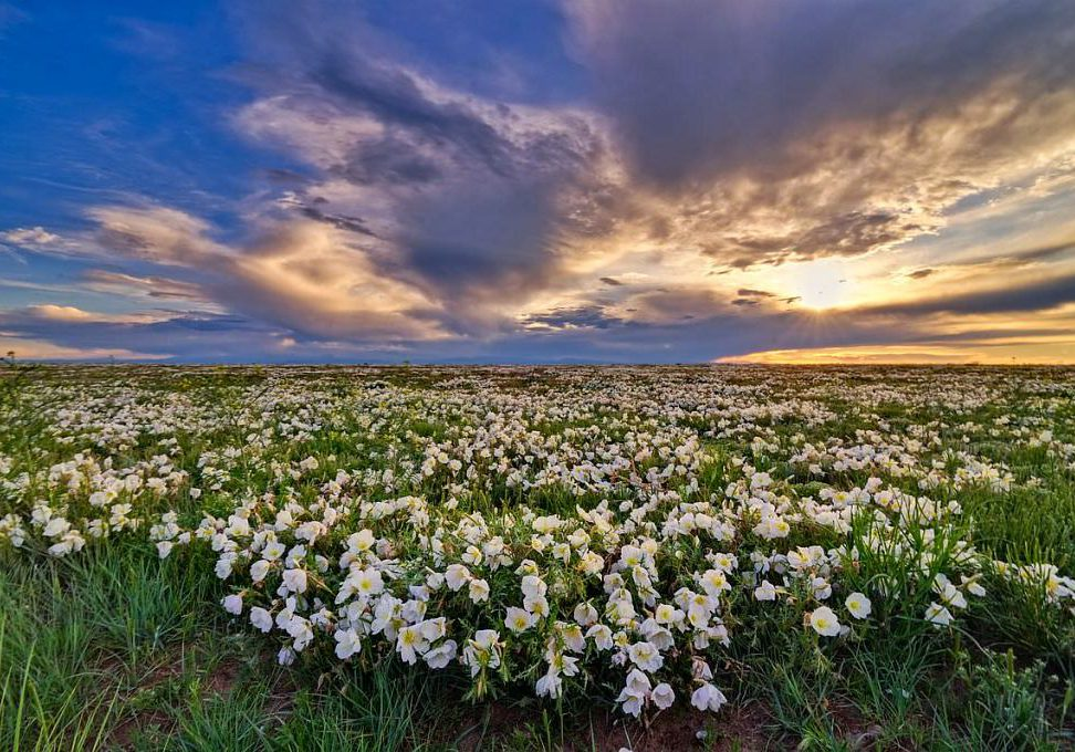 Evening primrose at Pawnee National Grassland by Michael Menefee.