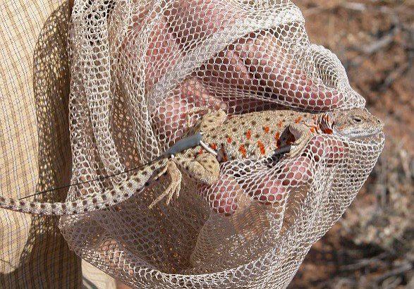 Longnose leopard lizard