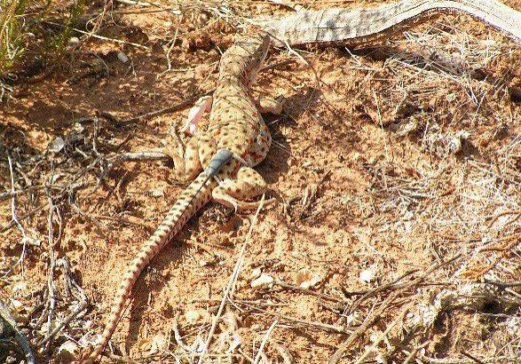 Longnose leopard lizard with telemeter