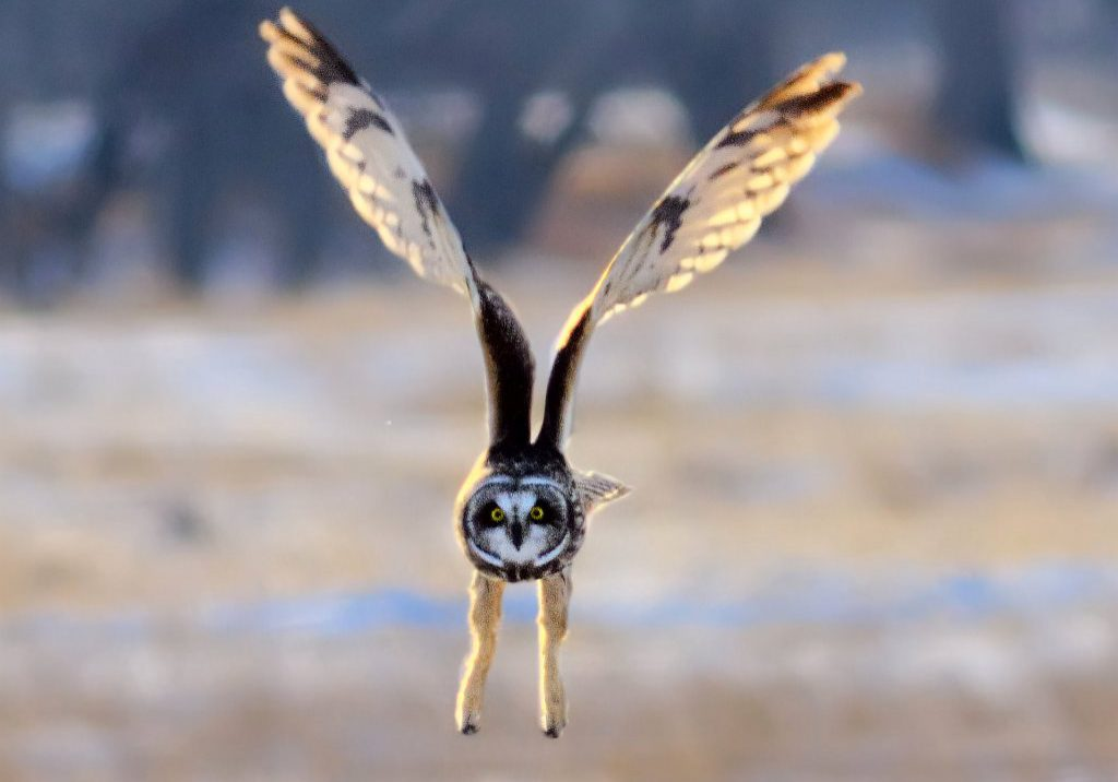 Short-eared Owl by Michael Menefee