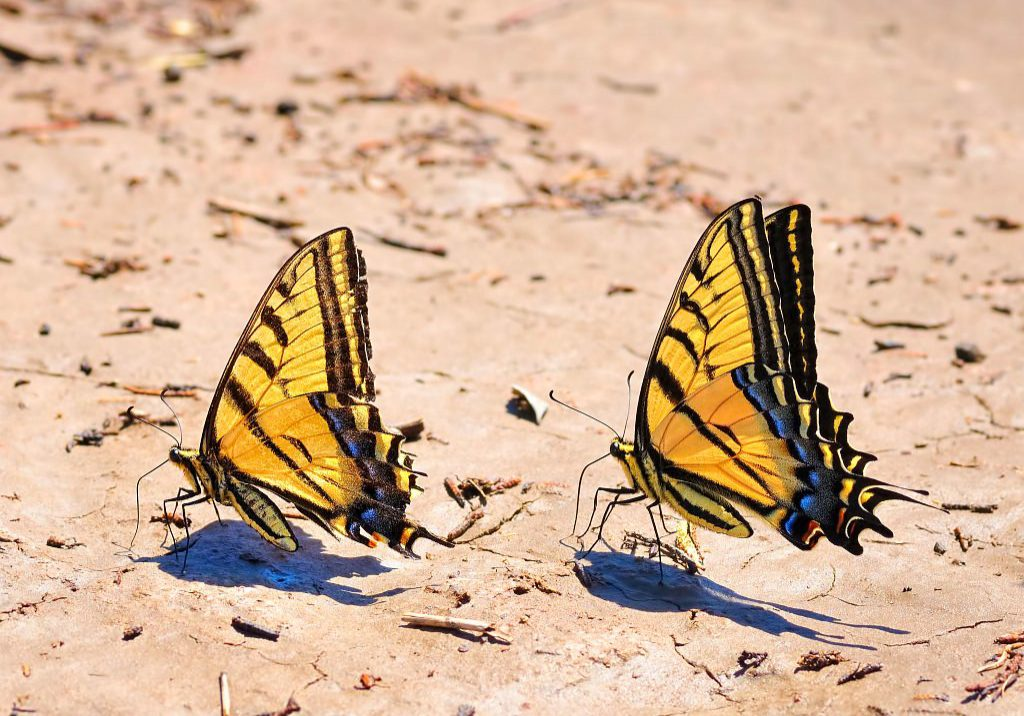 Swallowtails by Michael Menefee